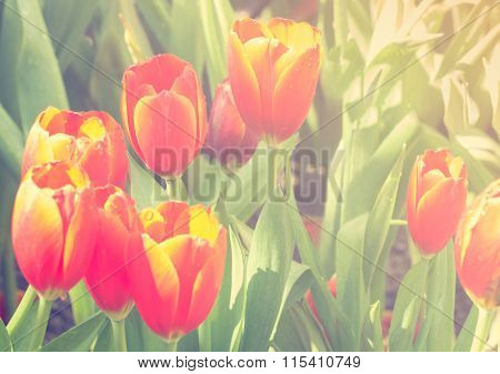 Selective Focus Of Tulip Flowers With Sun Light Effect, Vintage Toning Color