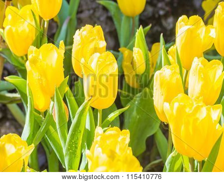 Selective Focus Of Colorful Tulip Flowers With Sun Light ,selective Focus