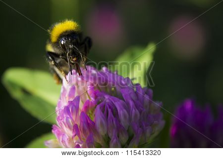 Bumblebee Sucking Nectar From Flower