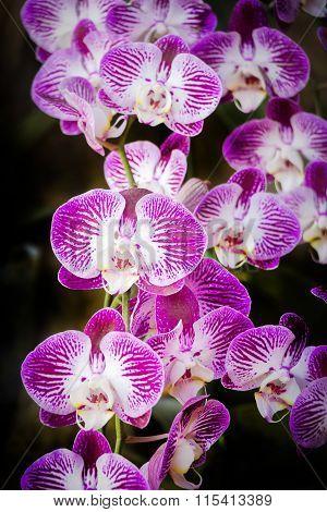 Doritaenopsis, Moth Orchid