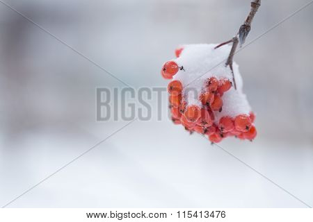 Rowan Berries Covered With Snow.