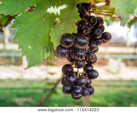 Real Grape In Garden