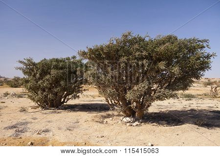 Frankincense trees