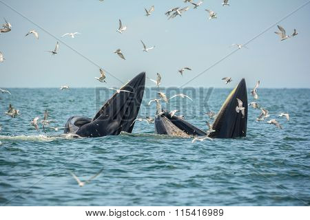 Whale Mother And Son Are Hunting Anchovy In Bangtaboon Bay, Thailand.  While Seagulls Flying Around