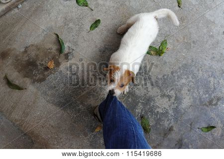 Dog Puppy Biting A Leg Of Pants