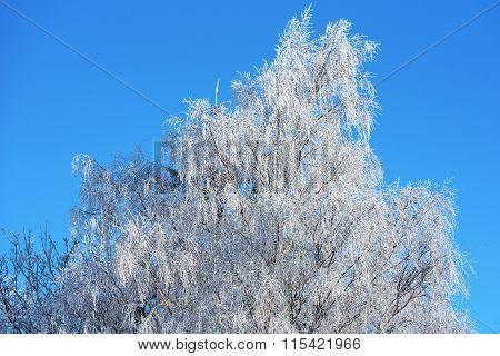 Birch Tree In Frost