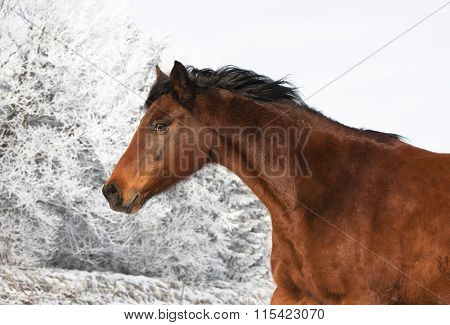 Brown Mare In Winter