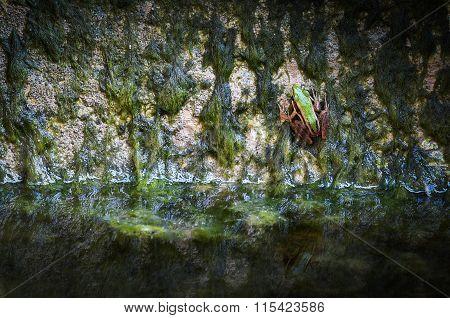 Green Tree Frog on alga . .