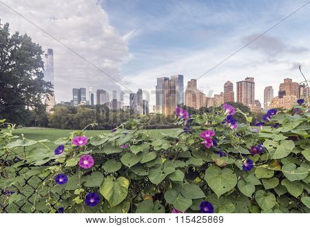 Morning Glory Flower, Central Park