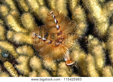 Spirobranchus Giganteus, Christmas Tree Worms