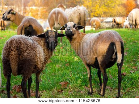 Farm Sheep Lambs