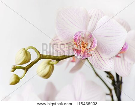 White And Pink Orchid Flower