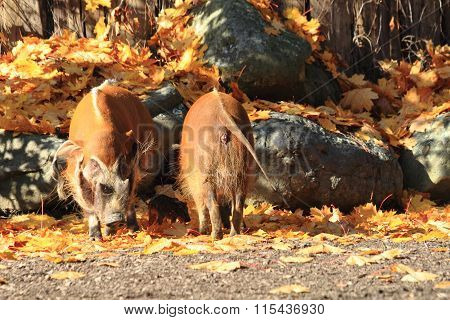 Wild Pigs In The Autumn
