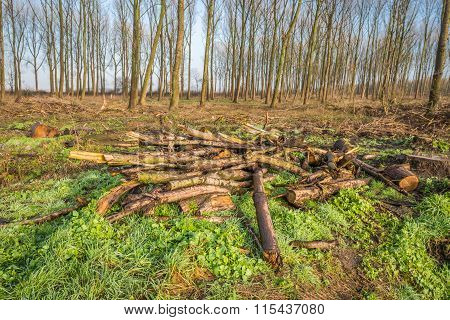 Fallen And Cut Branches In The Foreground Of A Forest