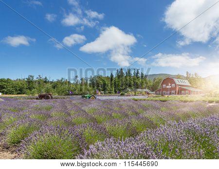 Lavender flower blooming scented field, Sequim, WA.