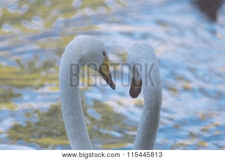 romantic two swans, symbol of love