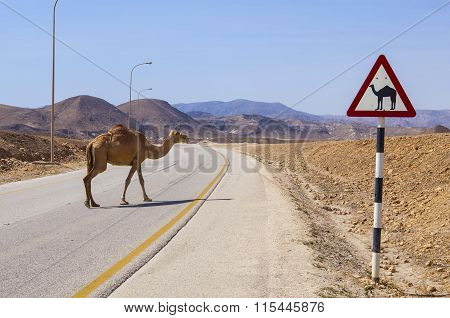 Camel and road sign