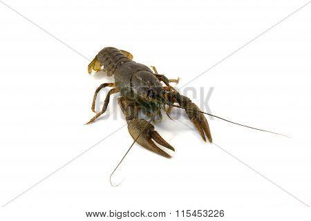 Astacus Astacus