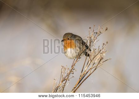 Robin redbreast Erithacus rubecula perched on dry grass