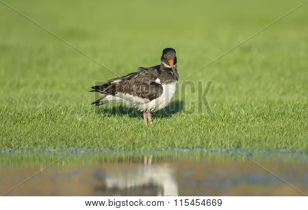 Oystercatcher Haematopus ostralegus on the grass