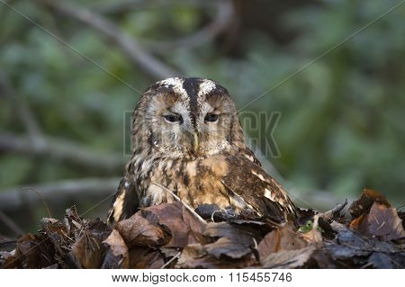 Tawny owl Strix aluco sitting in a pile of leaves