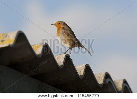 Robin perched on corrugated roofing with a blue sky background