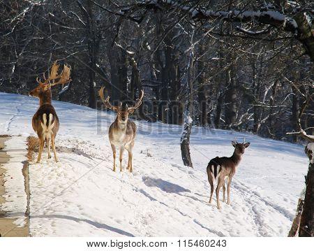 fallow deers in winter