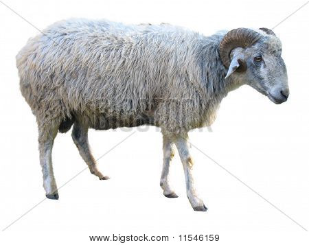 Sheep Isolated Over White