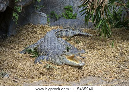 Siamese crocodile lies with an open mouth. Thailand