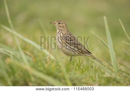 Meadow pipit sitting on the grass close-up