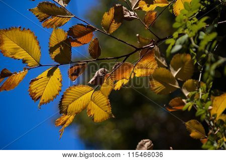 Elm leaves turning in fall