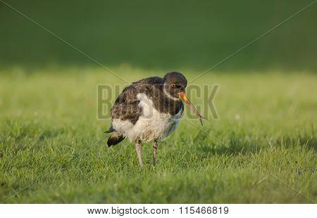 Oystercatcher Haematopus ostralegus on the grass