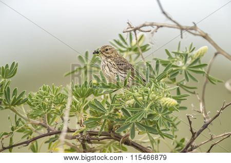 Meadow pipit sitting in a tree with bugs in its beak