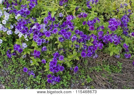 Purple And White Flowers Barrgilia