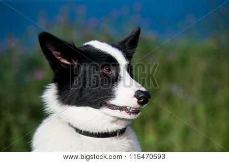 Husky Dog Closeup