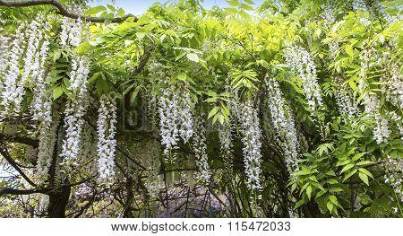 Wisteria In A  Botanical Garden