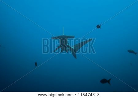 Front view of hammerhead shark in