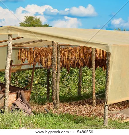 New tobacco crop dry under a canopy
