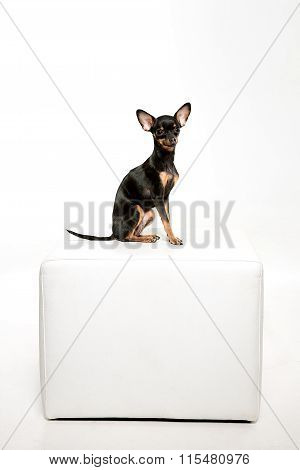 Beautiful toy terrier sitting on white leather footstool