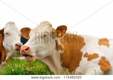 Brown And White Cows Isolated On White