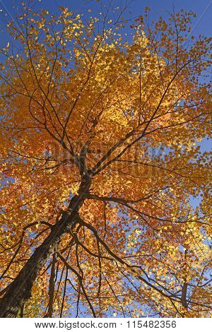 Looking Up Into A Maple In Full Fall Colors