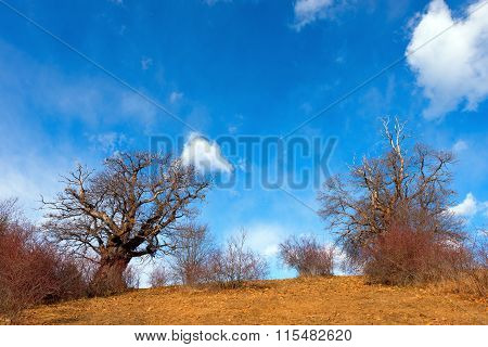 Chestnut Trees In Winter