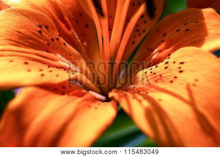 Detail Of Orange Lily