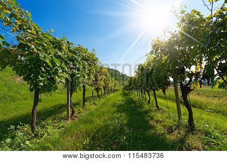 Italian Vineyards With Sun Rays