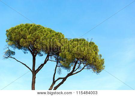 Maritime Pine On Blue Sky