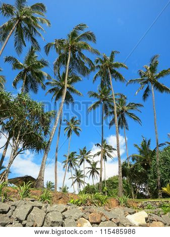 Green palms at the rocks in Weligama, Sri Lanka