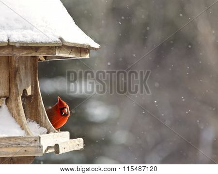 Cardinal At Bird Feeder