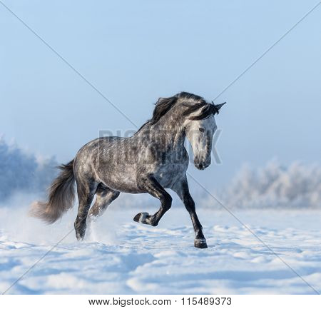 Grey purebred Andalusian horse gallops on snowfield
