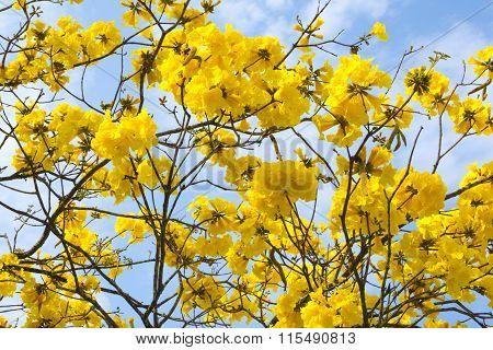 Closeup Golden Trumpet Tree Flowers