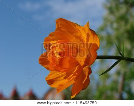 Flowers Frying, Trollius, Are Listed As Endangered, Omsk Region, Siberia